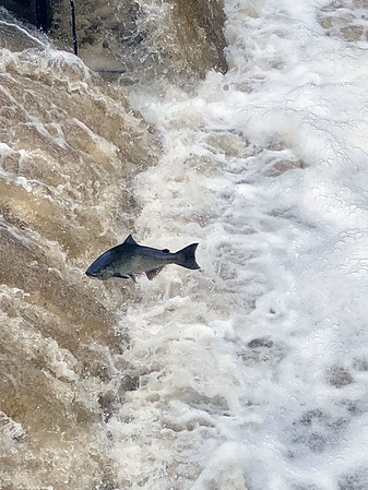 King salmon jump at Homestead Dam in Benzonia. Photo by Judy Ratkos.