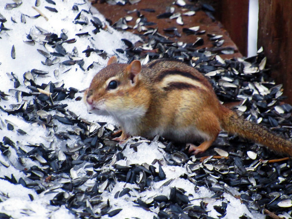 Critters are spotted in a backyard at the beginning of spring. Photo by Michael Novak.