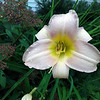 A daylily blooms in pale pink. Photo by Don Montie.
