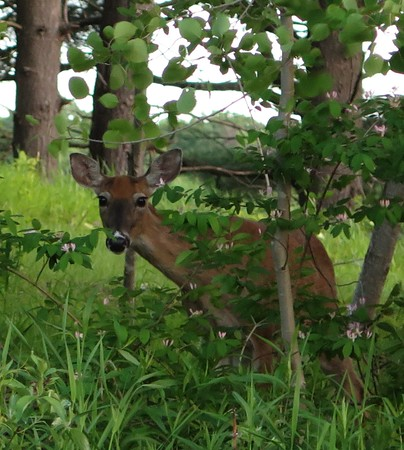 A doe went for a walk near Munson Medical Center. Photo by Jocelyn Trepte.
