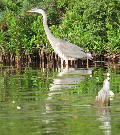 A crane along the Torch River. Photo by Amy Barickman.