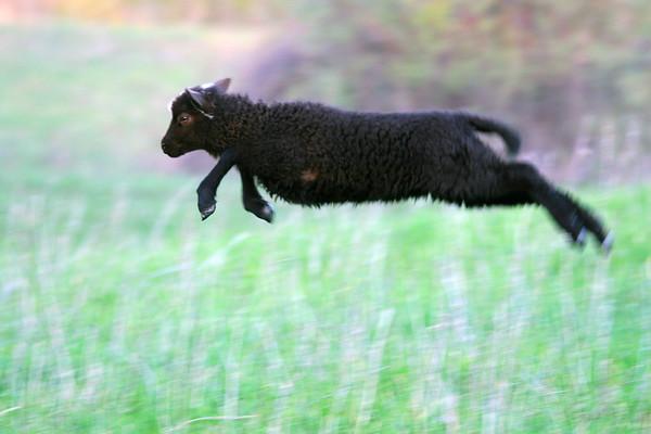 A Shetland lamb springs in a field on Rehmann Farm. Photo by Sue Rehmann.