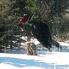 Pileated woodpecker eating suet. Photo by Rosemary Bell.