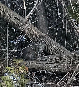 A bobcat sits by the side of the road in Kewadin. Photo by Ken Hollenbeck.