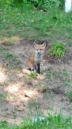 A fox pops a squat near an Arcadia driveway. Photo by June Engelbertson.