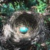 A robin egg in a nest. Photo by Bill Greene.