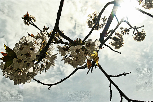 Cherry blossoms on a Suttons Bay morning. Photo by Joseph Nelson.