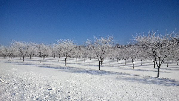 A sleeping orchard on a sunny winter day. Photo by JJ Johnson.