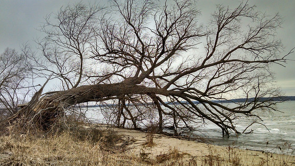 An easy tree to climb up in Acme Township. Photo by Tina Reed.