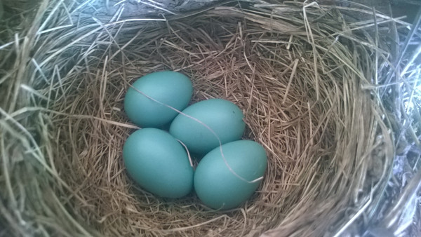 Blue robin's eggs wait to be hatched. Photo by Don Montie.