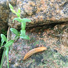 A slug on a rock in Frankfort. Photo by Jane Taylor.