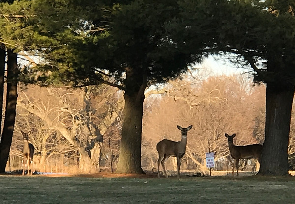 Surprised by three beautiful deer on a walk with the grandkids. Photo by Peg Jonkhoff.