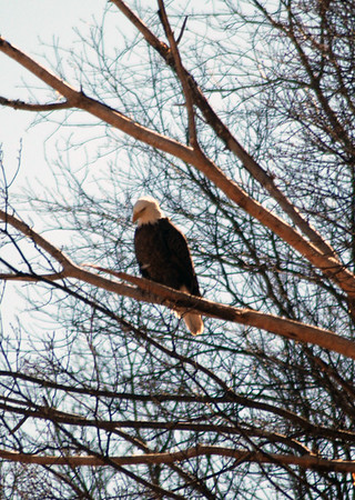 A bald eagle keeping an eye out near Empire Bluffs. Photo by Terry Herman.