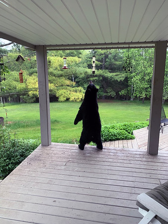 A bear stands to reach a bird feeder outside   David and Lorrie Grof's Acme home. Photo by Patrick Potter.