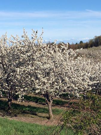 Cherry blossoms bloom during a spring bike ride. Photo by Russ VanHouzen.