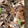 A new fawn hides in the woods spotted while mushroom hunting near Karlin. Photo by Charles Graham.