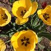 Tulips. Photo by Everett Waisanen.