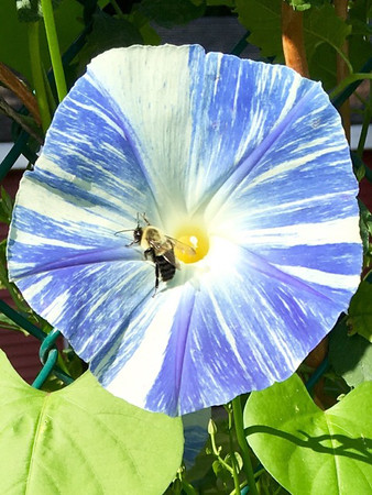 A bee rests in a striped morning glory. Photo by Sue Gates.