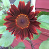 A royal flush Sunflower in yard Rapid City. Photo by Sue Gates.