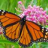 tcrGOeyes 0830 monarch