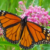 A monarch butterfly poses in late summer.<br /> Photo by Janeen Wardie.