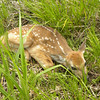A fawn rests near the Sleeping Bear Dunes National Lakeshore. Photo by Charles Bond.