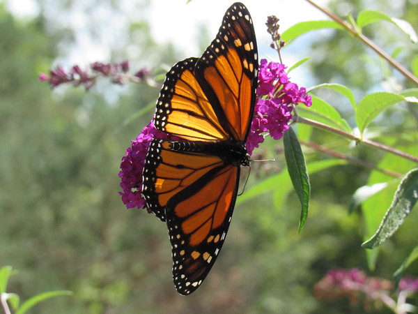 A monarch butterfly rests on a flower. Photo by Olivia Bertrand.
