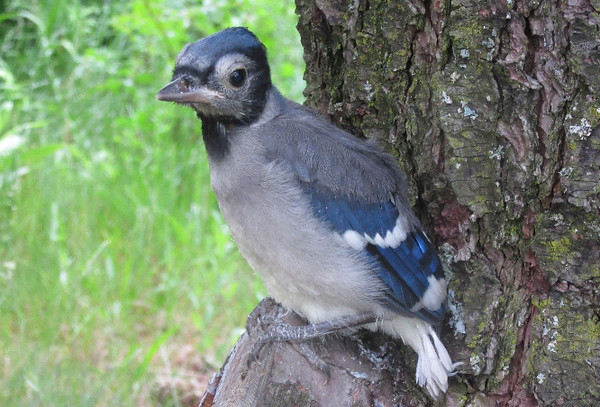 A baby bluejay waits while his parents keep a watchful eye. Photo by Lois Hoag.