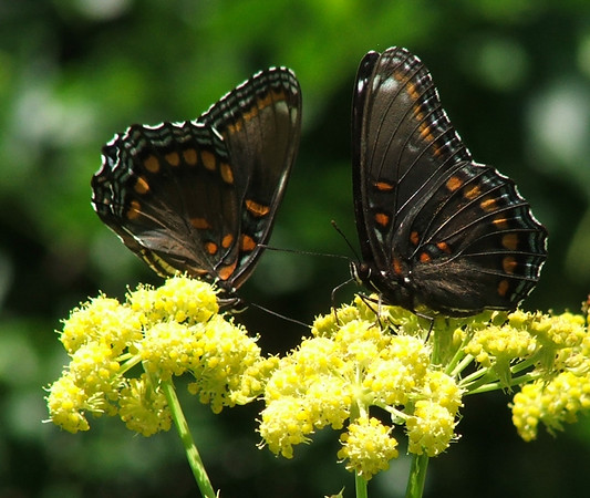 A pair of butterflies welcome spring nectar. Photo by Sharon Baatz.