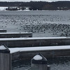 Ducks visit the Suttons Bay Marina. Photo by Camille Lievense.
