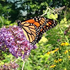 A butterfly seeks nectar in an Old Mission Peninsula perennial garden. Photo by Bob Bevier.