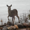 A deer posed for the camera on Drummond Island. Photo by Rick Tasch.
