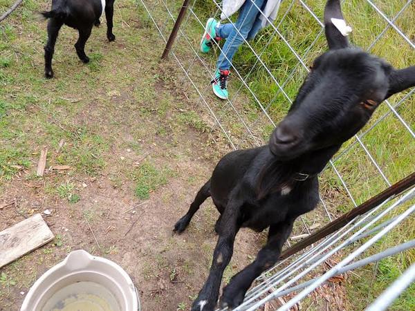 tcrGOeyes goats 1019