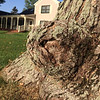 "The ""tortoise tree"" in a South Lake Leelanau front yard. Photos by Terry Herman."