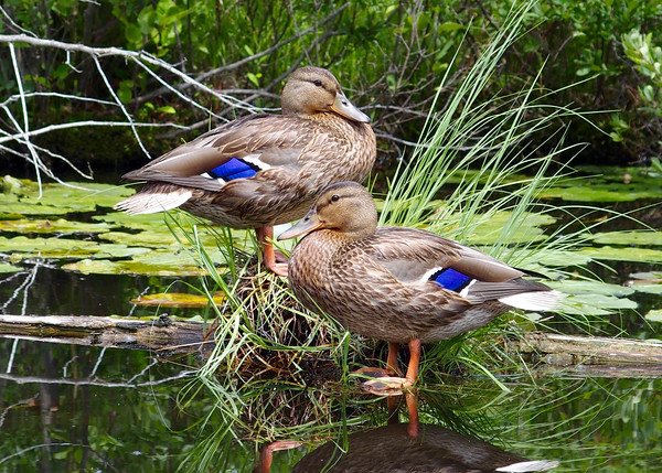 Two mallards rest riverside on the Victoria Creek. Photo by Eric Munson.