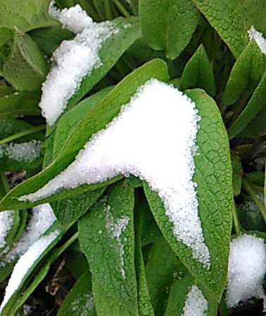 Snow on spring leaves -- mid-May in northern Michigan. Photo by Donna Weathers.