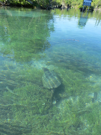 A snapping turtle lurks underwater. Photo by Amy Barickman.