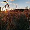 A Leelanau County cornfield at sunset. Photo by Tom O'Brien.