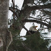 An eagle was perched in one of the trees for close to an hour near an Old Mission home. Photo by Robert Coleman.