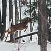 A deer bounds through the snow near Cedar. Photo by Cathy McKinley.