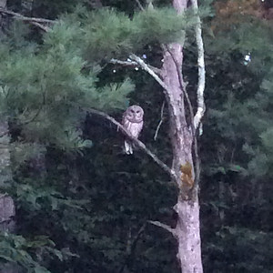 A watchful owl in a Maple City yard. Photo by Michael Manty.