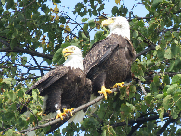 A pair of eagles perch on a tree near the southeast shore of Lake Leelanau. The eagles frequent this tree while fishing or hunting for ducks. Photo by Michael J. Emery.