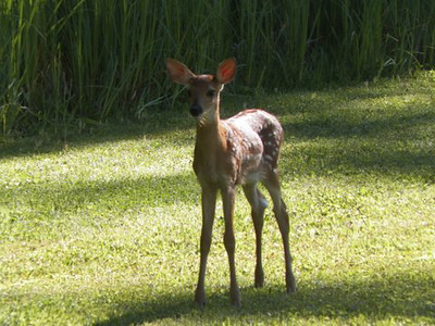One half of twin fawns that live near a Torch Lake home poses for a photo one morning. Photo by Sherry Day.