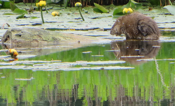 This little critter kept its tail hidden from the photographer as she tried to distinguish it as either a muskrat or a beaver. Any guesses? Photo by Loretta Grobe