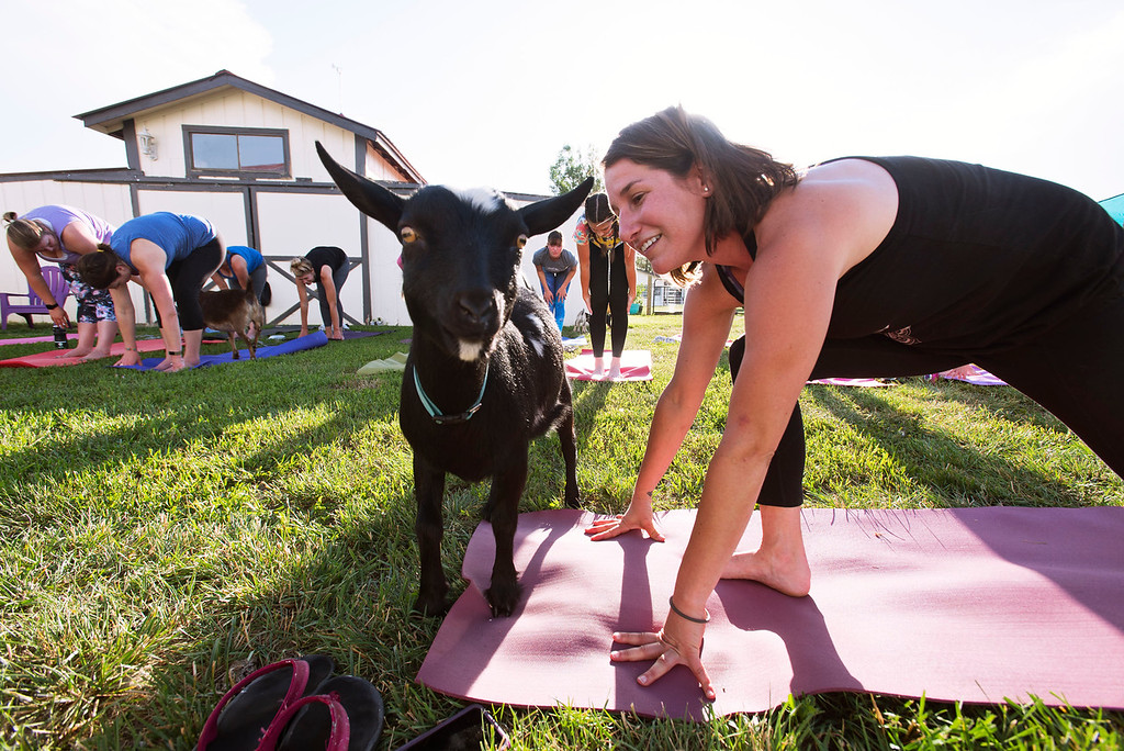 . F0613GOATYOGA05 Yoga instructor Jessie Fliss leads the class at the Mother Ranch\'s Goat Yoga event in Longmont Colorado on Wed, June 6, 2018  Photo by: Jonathan Castner