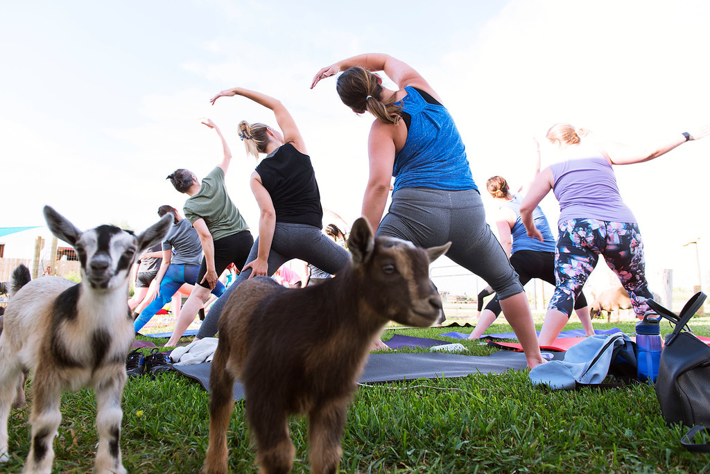 . F0613GOATYOGA08 Baby goats wander about during the Mother Ranch\'s Goat Yoga event in Longmont Colorado on Wed, June 6, 2018  Photo by: Jonathan Castner