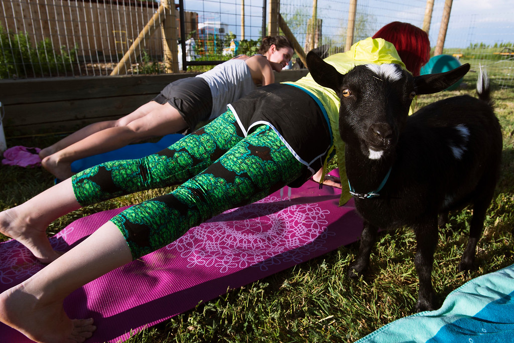 . F0613GOATYOGA03 Goats wander about during the Mother Ranch\'s Goat Yoga event in Longmont Colorado on Wed, June 6, 2018  Photo by: Jonathan Castner