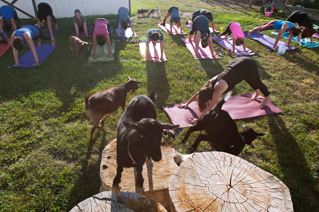 . F0613GOATYOGA04 Yoga instructor Jessie Fliss leads the class during the Mother Ranch\'s Goat Yoga event in Longmont Colorado on Wed, June 6, 2018  Photo by: Jonathan Castner