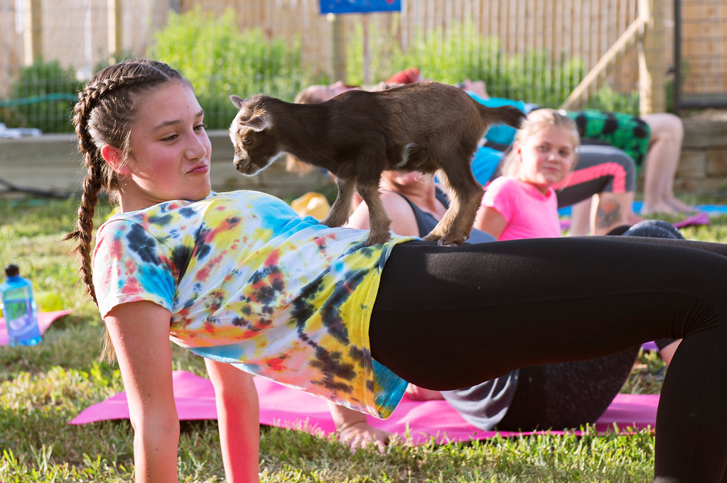 . F0613GOATYOGA10 Sophia Dunkin of Lafayette gets some time with a baby goat during the Mother Ranch\'s Goat Yoga event in Longmont Colorado on Wed, June 6, 2018  Photo by: Jonathan Castner