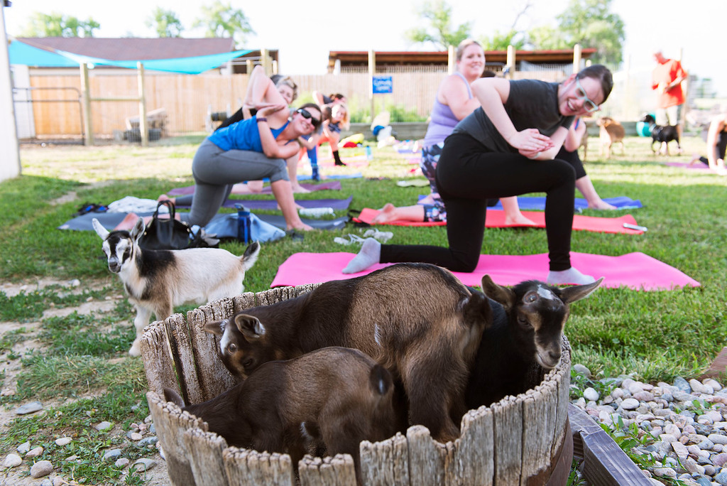 . F0613GOATYOGA09 Baby goats wander about during the Mother Ranch\'s Goat Yoga event in Longmont Colorado on Wed, June 6, 2018  Photo by: Jonathan Castner